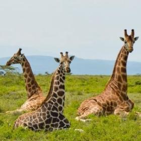 A group of giraffes seen sitting together near our Projects Abroad volunteer opportunities in Kenya.